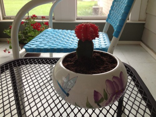 Red flowered cactus