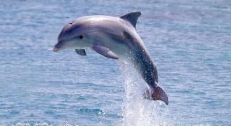 dolphin Image source: http://www.defenders.org/