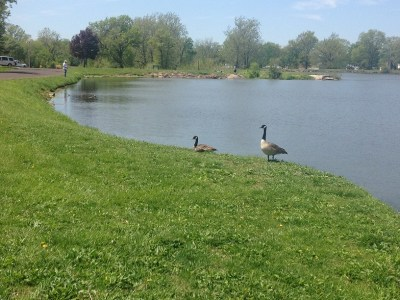 Fisherman and geese