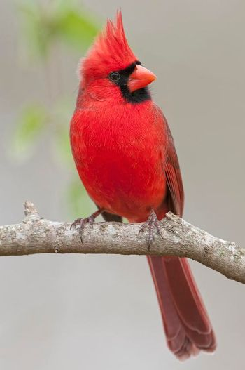 red male cardinal Image source: Pinterest