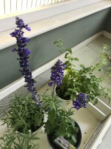 herbs: lavender, oregano, and Salvia