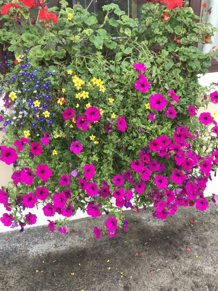 The flowers thrive in Ireland due to rain