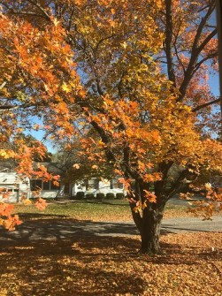 fall tree's orange leaves