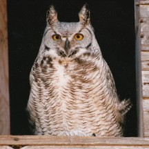 Owl photographed by Raymond W. Stilborn.