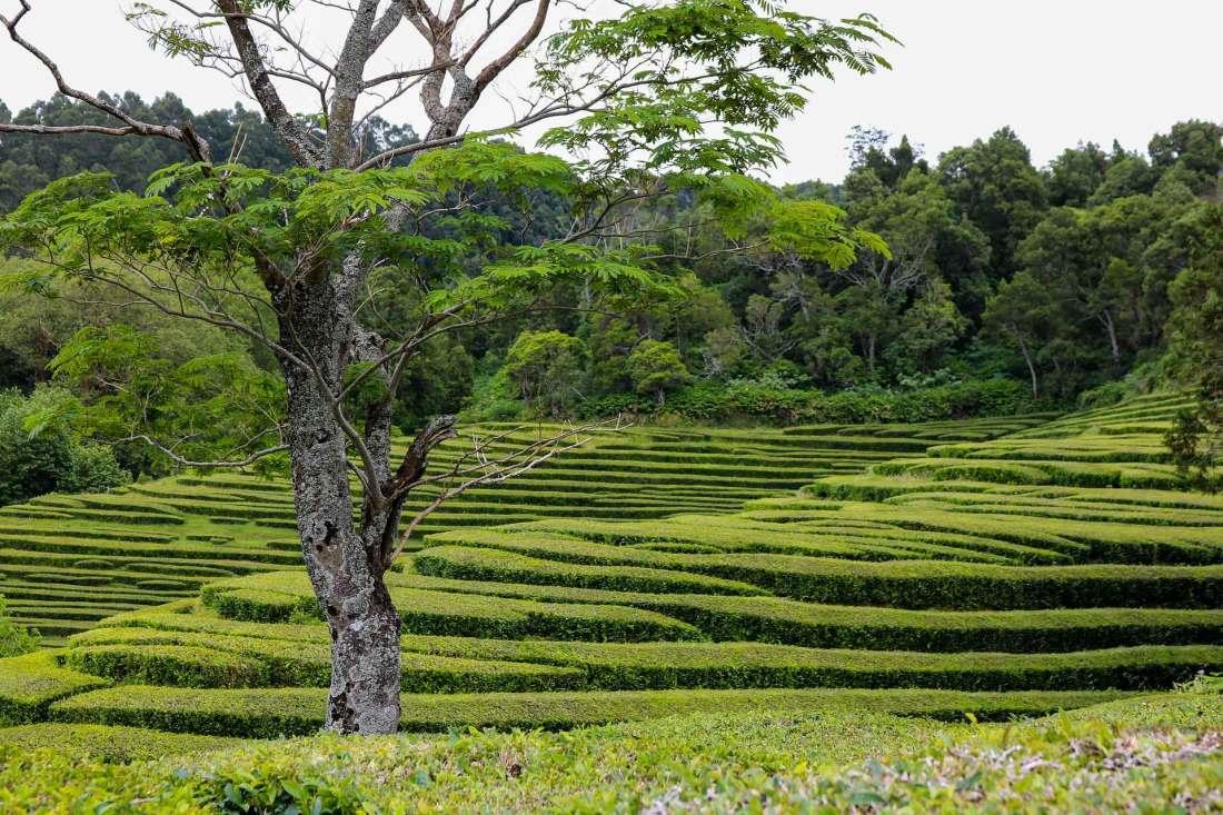 Teeplantage auf den Azoren