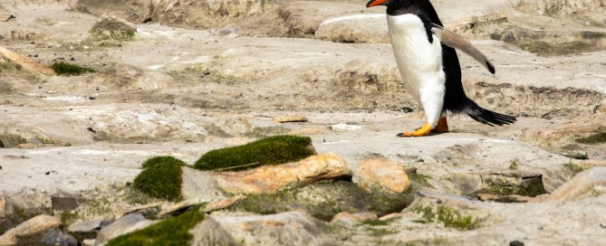 Falkland Inseln, Grave Cove, Pinguin