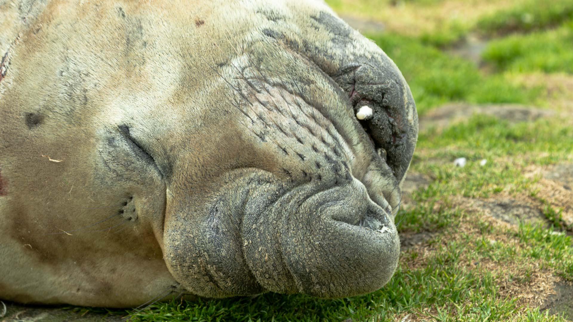 Seelefant, Robbenart, St. Andrews Bay, Südgeorgien
