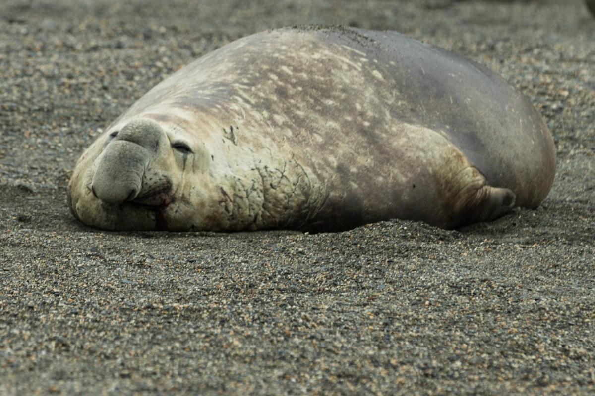 Moltke Bay, Antarktische Halbinsel, Seelefant