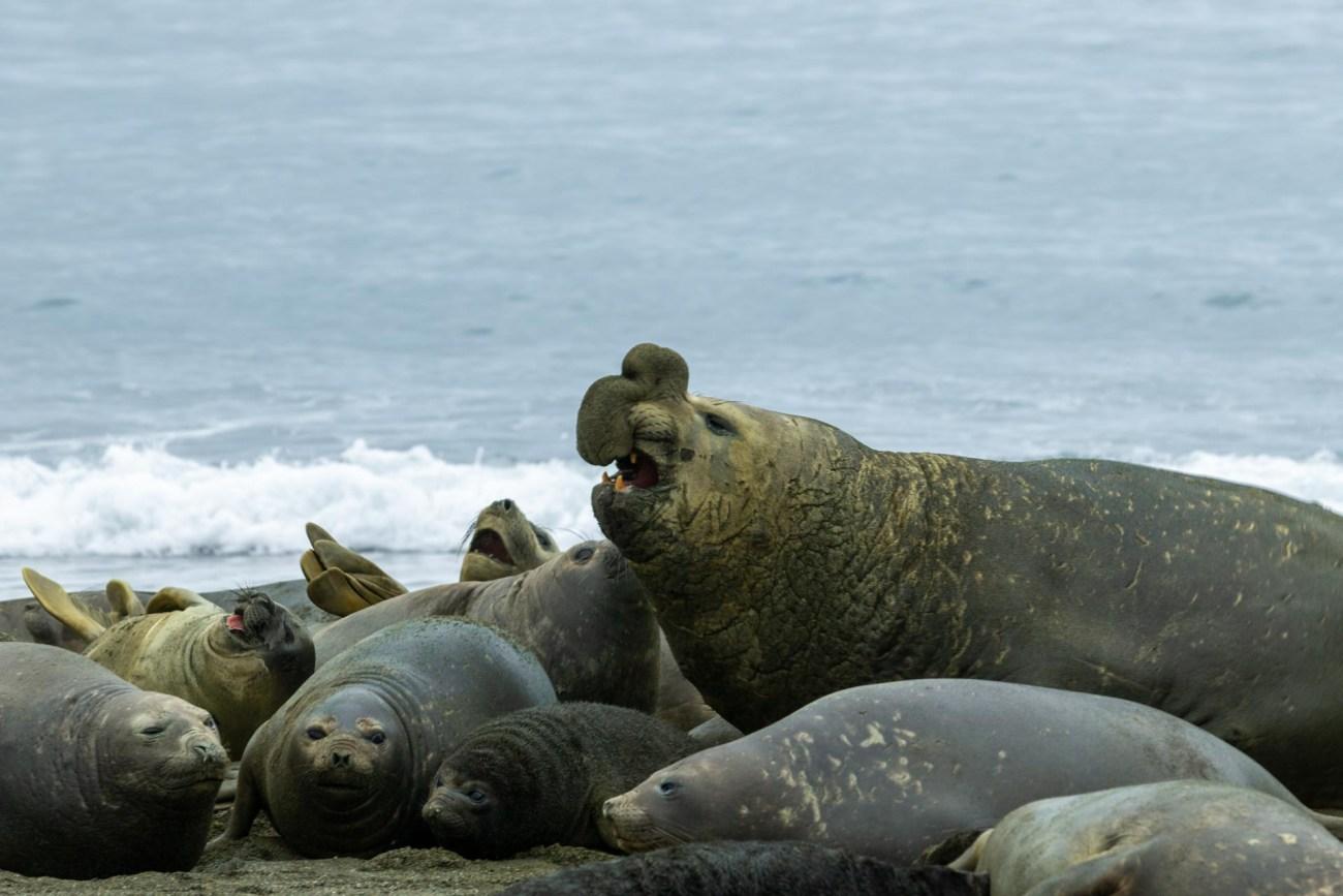 Moltke Bay, Antarktische Halbinsel, Seelefanten Herde