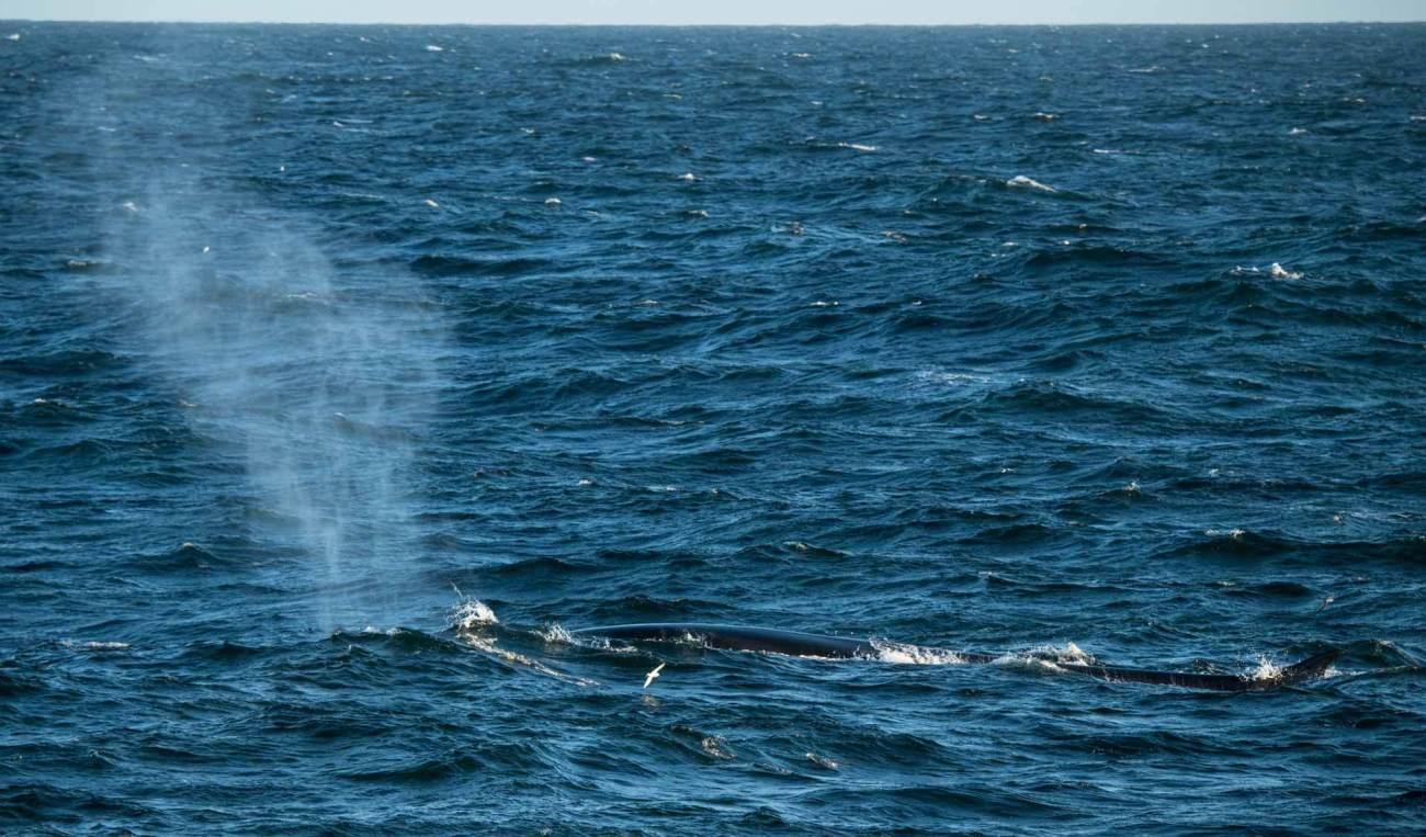 Walbeobachtung Gerlache Strait, Drake Passage