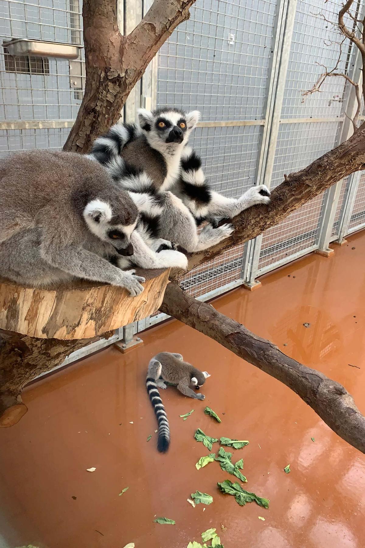 Diergaarde Blijdorp - Lemuren