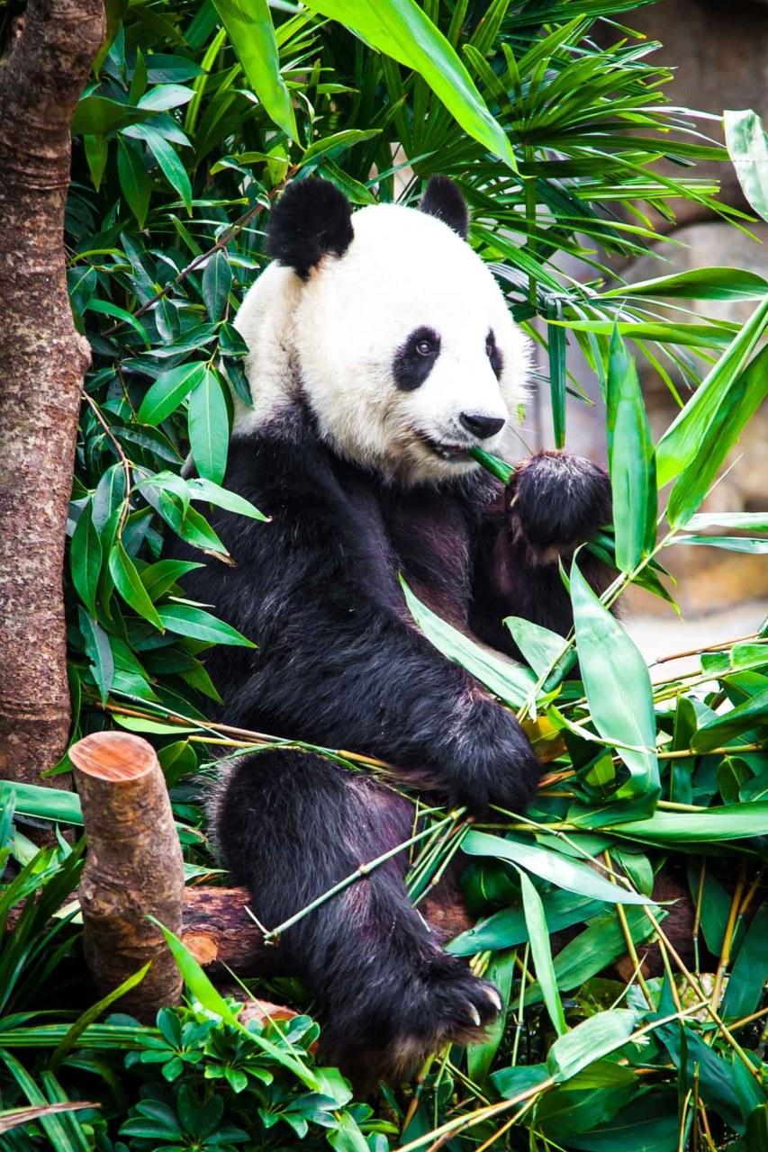 Hongkong Ocean Park, Panda Bear