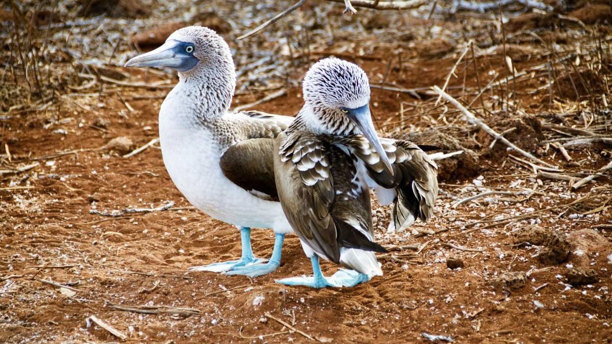 Galapagos, Blaufuß-Tölpel