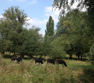 Cattle in (the middle of) Cambridge