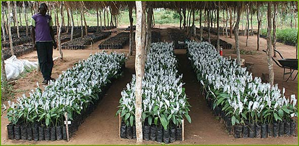 Grafting of mango trees in Nyongoro