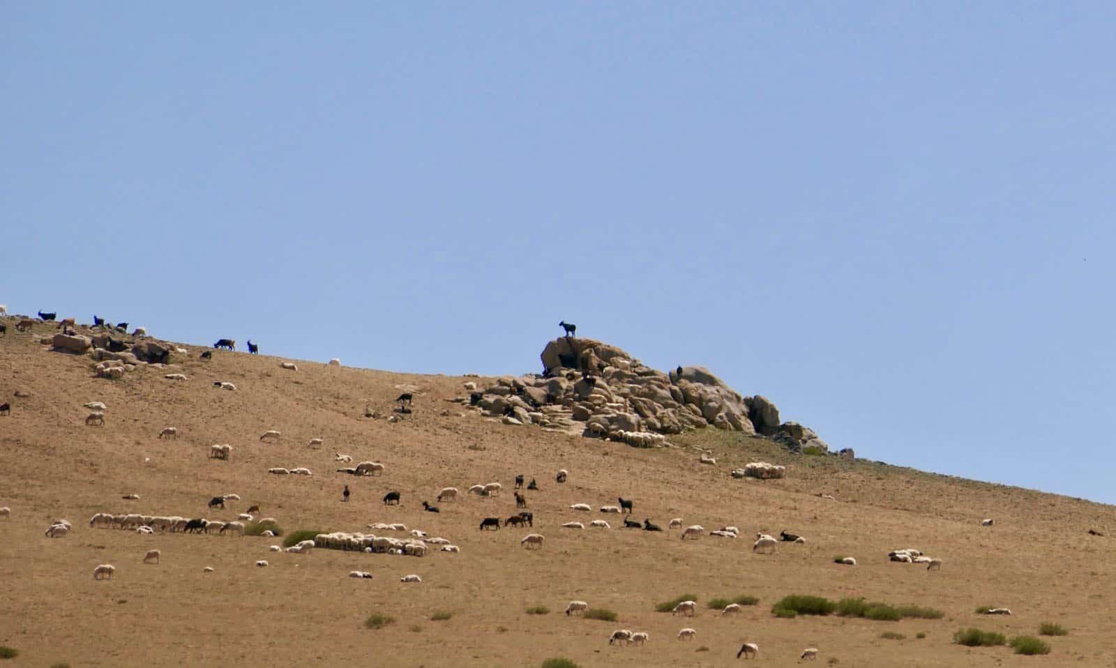 Goats will climb betternotstop Mongolia