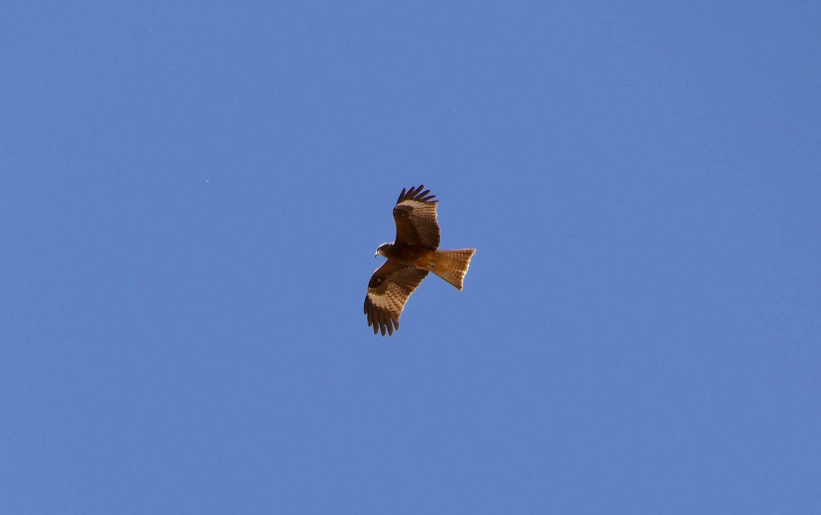 Falcon Eagle Mongolia betternotstop