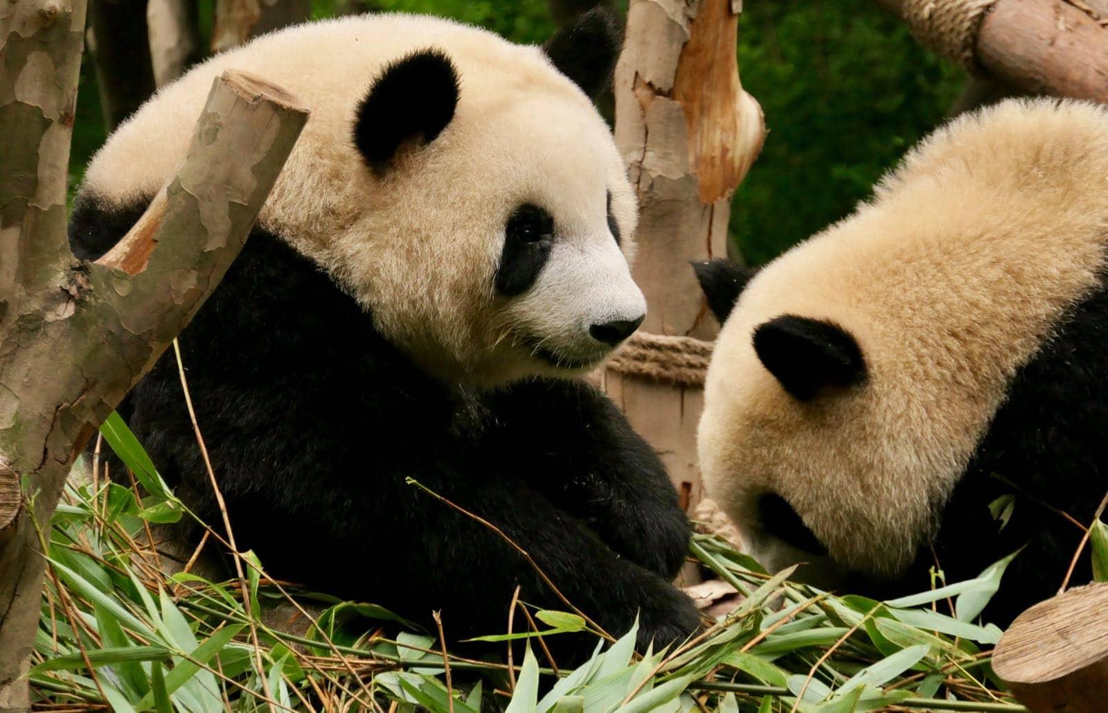 Panda buddies betternotstop Chengdu China
