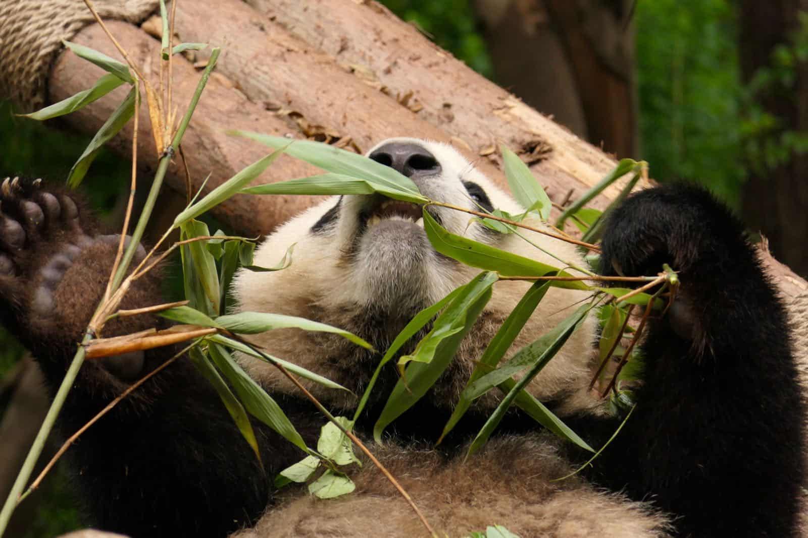 Panda Chillin betternotstop Chengdu China
