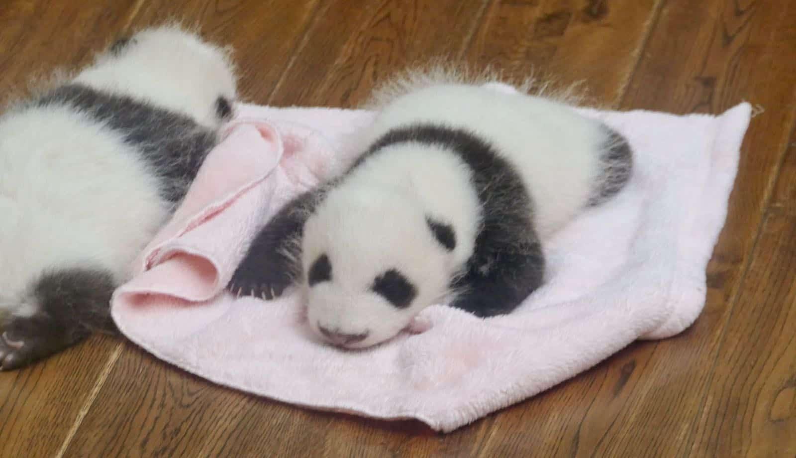 Baby Pandas betternotstop Chengdu China