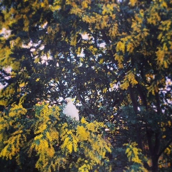 Sulfur crested cockatoo in the newly blooming wattle #canberra