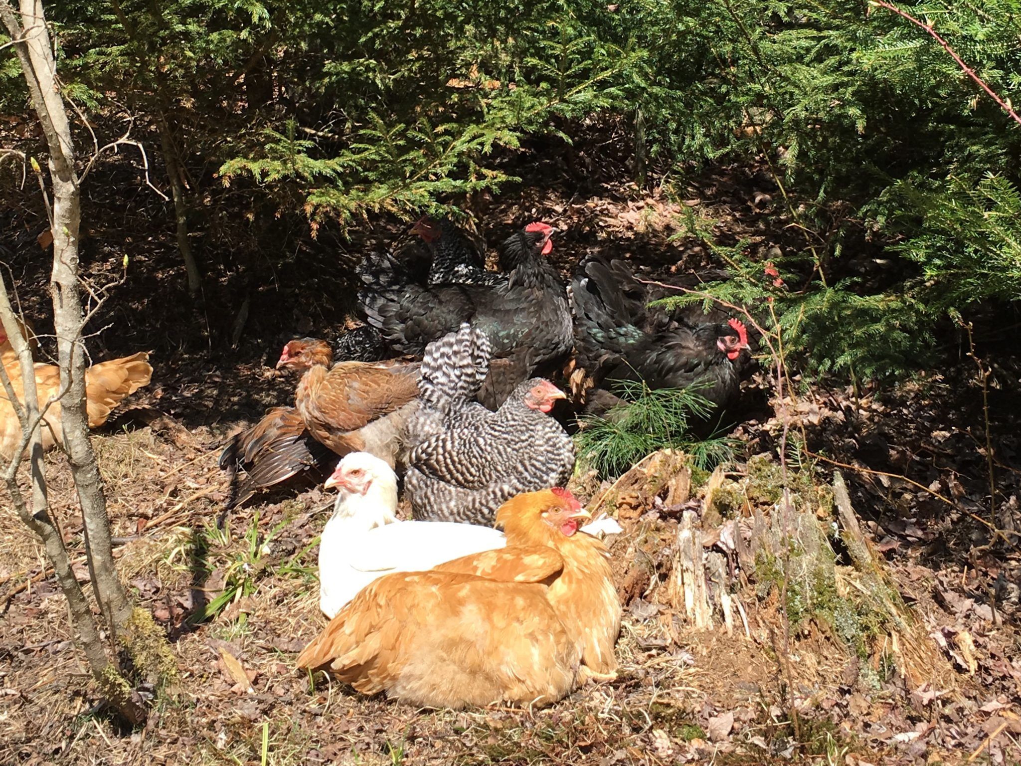 Lazy Day Hens
