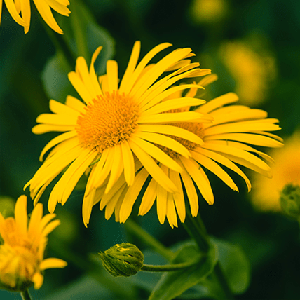 Fleur d'arnica jaune