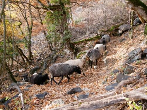 Transhumance des moutons de la bergerie de Naye (Damien Jeannerat) à Beudon.
