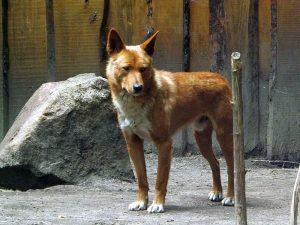 Portrait: Dingo