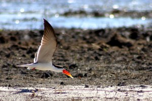 African Skimmer in flight at the Chobe River