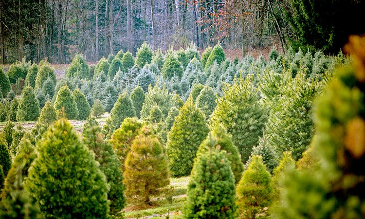 8 Places To Find The Perfect Christmas Tree In Western
