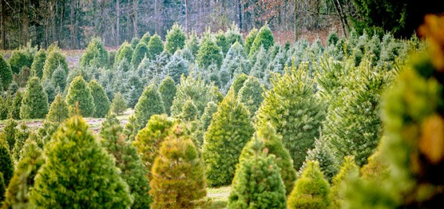 8 Places to Find the Perfect Christmas Tree in Western North Carolina