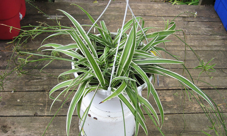 Are spider plants your favorite houseplant? Tell us in the comments
