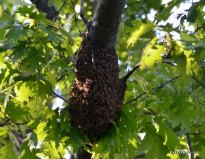 Honeybee swarm in a tree.