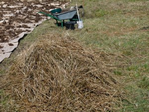 Cut and dried rushes stacked and waiting to be spread
