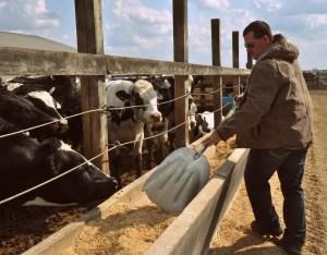 feeding cattle corn