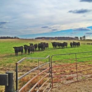 black calves on grass