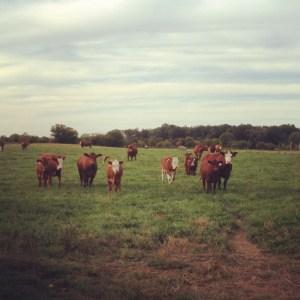 simmental cattle on grass