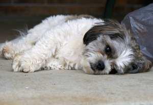 Our Teddy Bear Dog, Checkers