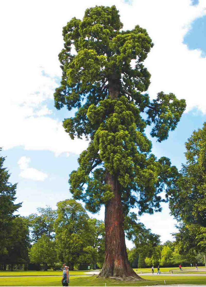 Giant Sequoia The Giant Sequoia is a species of redwood that grows in the Sierra Nevada Mountains in California. These trees are the world's largest single living thing and can grow up to 85 meters in height.