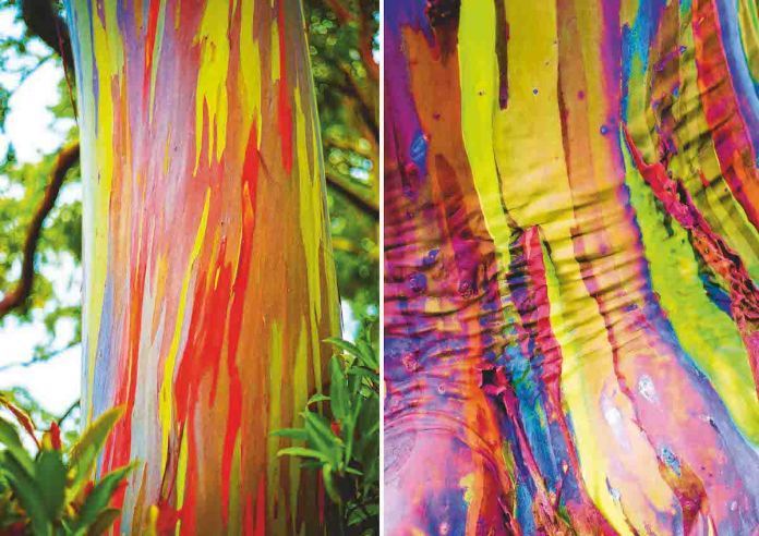 Rainbow Eucalyptus This stunning tree grows in New Britain, New Guinea, Seram Sulawesi, and Mindanao. The colored trunk is caused by peeling of the bark, which reveals a bright green layer beneath.