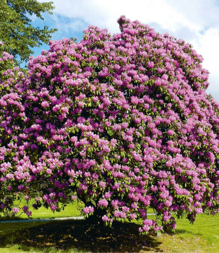 Rhododendron The rhododendron can grow in almost any climate and can reach a height of up to 30 meters. The leaves are usually covered with small hairs or scales.