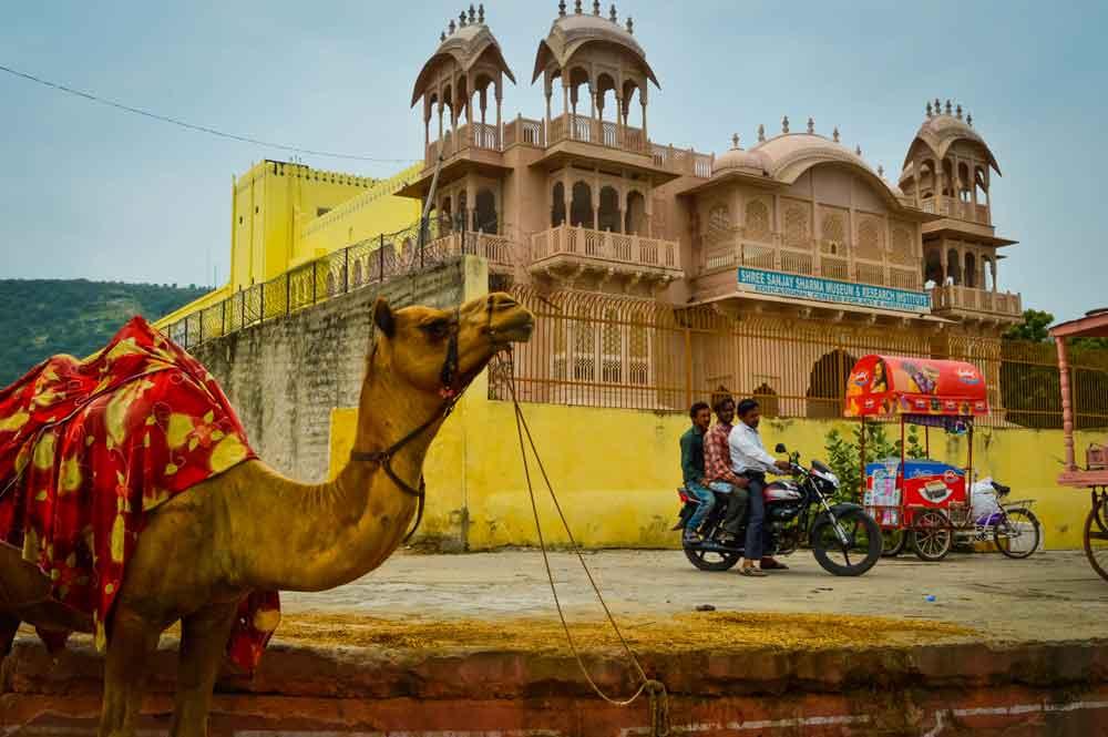 Camels in Jaipur