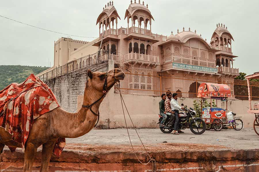 Camels in Jaipur India