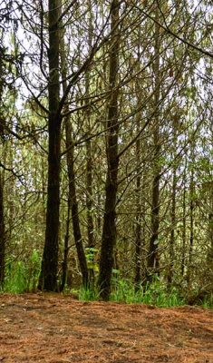 forest acatenango-volcano-hike-(2)