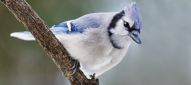 Bird of the Week: Blue Jay