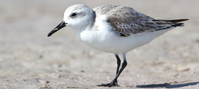 Bird of the Week: Sanderling