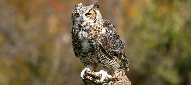Great Horned Owl - Photo by Stephane Tardif