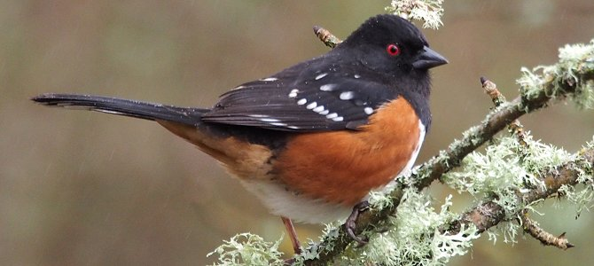 Spotted Towhee - Photo by Sandy Brown Jensen