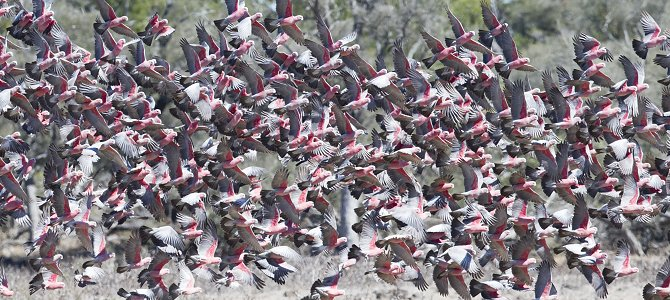 Galah Flock